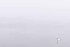 Purity (dlerps) Tags: city morning bw white mist reflection bird fall water monochrome animal misty fog swimming river swan sony foggy sigma shore minimalism alster altstadt eppendorf autmn binnenalster winterhude lerps sonyalphadslr sigma1850mmf28exdcmacro sonyalphaa77v daniellerps
