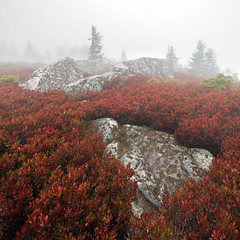 In The Red (Appalachian Hiker) Tags: autumn red mist fall fog boulder wv dollysods blueberrybushes flaggedtree