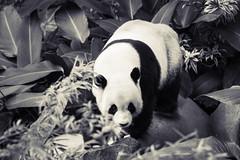 My Name is Xing Xing (saish746) Tags: china california bear white black cute green nature animal canon giant mammal zoo is log panda fuzzy outdoor centre conservation national malaysia kualalumpur usm kl xing pandas negara ef70200mm f4l