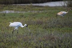 Whooping Cranes (limedestruction) Tags: bird nature texas crane wildlife birding whoopingcrane aransasnwr