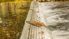 Weaver Creek Spawning Channel (WarpFactorEnterprises) Tags: fall creek salmon weaver spawning channel sockeye harrisonhotsprings 2015