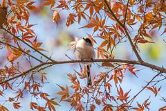 _69Q4354 (jojotaikoyaro) Tags: autumn bird nature canon sigma momiji jp    1dx 150600mms