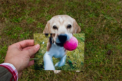 Supercute. (arturii!) Tags: old pink dog pet house playing motion cute home beagle me senior animal speed ball garden puppy holding ancient backyard friend hand pov perspective adorable perro domestic photograph comparison wrinkles partner fit gos muzzle nowandthen bigui