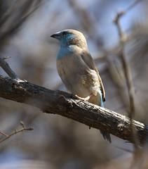 Southern Cordonbleu (Wild Chroma) Tags: birds namibia windhoek cordonbleu waxbill passerines uraeginthusangolensis angolensis uraeginthus