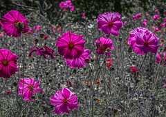 Cosmos in a field, Reno, NV (fasteddie77) Tags: cosmo floweres