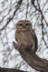 Spotted Owlet (Athene brama) (RonW's Nature Photography) Tags: india bird canon asia birding spotted athene birdwatcher owlet brama keoladeo athenebrama