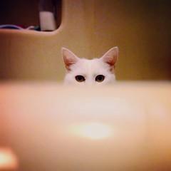 Bathtub Cat (RiRi the weenie) Tags: cats silly cute funny soft fat adorable fluffy bathtub  whitecat    sittingintub