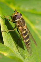 Hoverfly- Syrphus torvus (linanjohn) Tags: uk macro nature wildlife lakedistrict insects cumbria flies syrphidae diptera borrowdale hoverflies syrphinae syrphini syrphustorvus