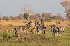 Squaller (Thomas Retterath) Tags: 2016 africa afrika allrightsreserved animals botswana copyrightthomasretterath epuusquagga equidae herbivore kwara mammals natur nature okavangodelta pflanzenfresser säugetier thomasretterath tiere wildlife zebra