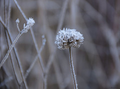 Fleur givrée (Kaya.05) Tags: flower cold fleurs givrées nature plante extérieur outdoor 5dsr canon hiver 2016 hautesalpes france flickrunitedaward