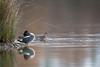 Discrète séduction (Jacques GUILLE) Tags: 09 anascrecca anatidés ansériformes ariège domainedesoiseaux eurasianteal jacquesguille mazères sarcelledhiver bird oiseau