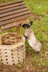 Toki making a wish. (Tjflex2) Tags: muyal kelinci coinin ilconiglio usagi sungura toki lepus fenek kanin krolik coelho iepure conejo rabbit bunny lapin cute cuddly furry fuzzy leporidea small mammal lagomorph adorable pets vancouver bc canada friendship playful nature pretty girl bunnies boy