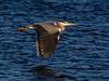 Heron In flight 2 (Paul West ( pwest.me )) Tags: luntmeadowsnaturereserve lunt meadows nature reserve heron bird