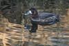 Greater Scaup 2017-01-14_02 (Jan Thomas Landgren) Tags: birds bird fåglar fågel fauna aves animal animals avifauna wildlife wetland wetlands getterön getterönnaturereserve halland nature natur outdoor tamron tamron150600mm sony sweden sverige sonyilca77m2 sonya77mark2 sonya77ii djur änder and greaterscaup duck ducks bergand aythya aythyamarila