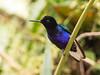 IMG_3545 Velvet-purple Coronet (suebmtl) Tags: bird hummingbird mindo ecuador purplevelvetcoronet pichinchaprovince boissonneauajardini