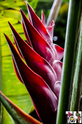 Heliconia caribeae