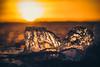 I used to be a mountain (jarnasen) Tags: fujifilmxt1 xc50230mmf4567 freehand handheld ice iceberg cube sun sunset settingsun bokeh glitter gold golden orange backlight copyright järnåsen jarnasen sweden sverige östergötland grensholm water sky dof perspective closeup nature outdoor geotag geo