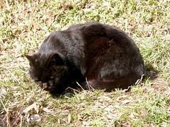 黒い毛玉 (hamapenguin) Tags: animal cat straycat blackcat neko 猫 ネコ 野良猫 黒猫