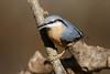 _F0A8738.jpg (Kico Lopez) Tags: galicia lugo miño sittaeuropaea spain trepadorazul aves birds rio