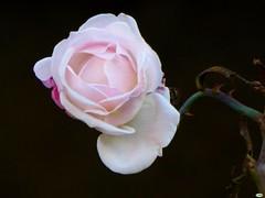Rosa rosita (juantiagues) Tags: rosa flor solitaria color juantiagues juanmejuto