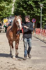 Wemmel : Jaarmarkt, championship for horses#5 (foto_morgana) Tags: animals belgie belgique belgium cheval horse jaarmarkt2016 mammalia mammals mammifères outdoor paard säugetiere wemmel zoogdieren