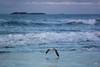 2:52 Dear Seagull (Claudia Künkel) Tags: oregon seagull flight coast pacificocean sunset gull