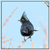 Phainopepla (Ed Sivon) Tags: american america canon nature lasvegas wildlife western southwest sun statepark desert clarkcounty clark vegas flickr black bird nevada nevadadesert park