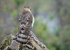 Cooper's Hawk juvenile by Jackie B. Elmore 1-4-2015 Lincoln Co. KY (jackiebelmore) Tags: accipitercooperii coopershawk hawk lincolnco kentucky jackiebelmore kos