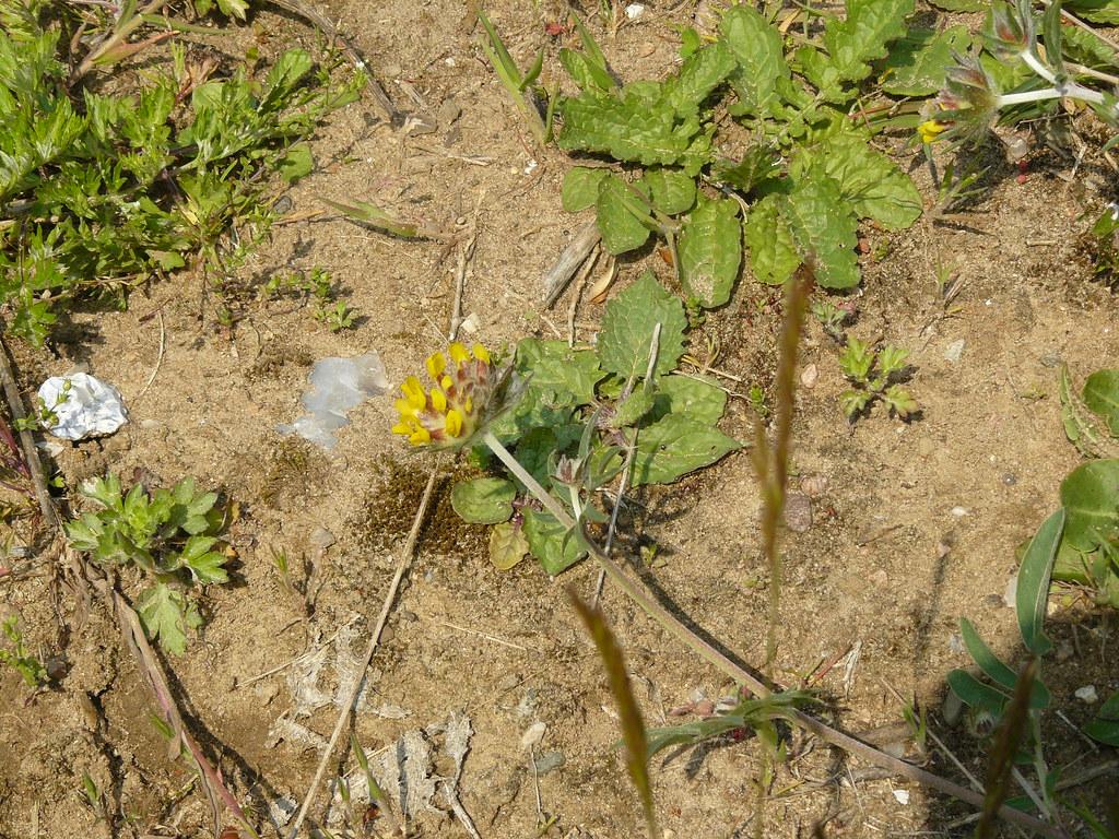 Anthyllis vulneraria- Wundklee2