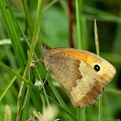 Maniola jurtina (Ramunė Vakarė) Tags: maniolajurtina lepidoptera butterfly field nature macro meadowbrown plant lithuania eičiai ramunėvakarė inexplore