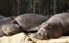 Sonnenbad (Zoo Köln) (Kay Wahdan) Tags: animal animalia collogne fauna fluspferd köln kölnerzoo mamal natur nature nordrheinwestfalen säuger tier