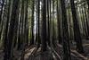 Redwoods (punahou77) Tags: redwoods trees santacruz ucsantacruz california landscape forest sky stevejordan light punahou77 nikond500 nature