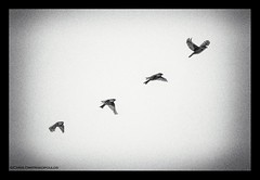 The art of flying in four acts (s1nano) Tags: birds bird flying fly flight birdinflight bif blackandwhite composite bw nikond7000 tamronsp70300mm1456vcusd nature free freedom