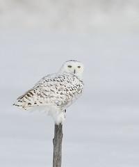 Harfang des neiges / Snowy owl (Sylvain Prince) Tags: buboscandiacus