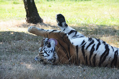 Big cat! (Giulia Gasparoni) Tags: big cat play playing roll around rollaround rolling rollingaround licking tiger tigers feline felines fierce proud strips beautiful amazing nature africa african wild animal animals photography