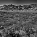 Wilderness...  (Black & White, Saguaro National Park)
