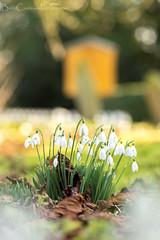 Church Yard Spring (Billy Clapham) Tags: utterby lincolnshire spring winter february walk localpatch light nikond7100 tamron90mmf28 tamron 90mm macro closeup nature widllife snowdrop snowdrops flowers church churchyard