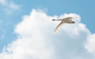 swans (02) - flight