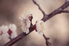 Plum Blossom (aaron.ackerley) Tags: 2017 march nature flowers blossom garden flowersandplants plum blossoms plumblossoms
