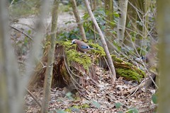 Eichelhäher - garrulus glandarius (krueesch) Tags: garrulusgandarius bird vögel vogel eurasianjay häher rabenvogel eichelhäher birds nature jay