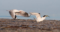 SIlver Gull & Crested Tern (chrissteeles) Tags: silvergull crestedtern thompsonbeach bird birding southaustralia sa
