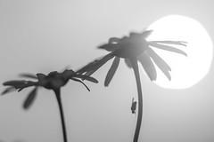 Macro flower silhouette (B/W) (PaulHoo) Tags: sunset summer bw sun abstract macro monochrome silhouette closeup insect evening fly polder silhouet lightroom 2015 waverveen botshol grootmijdrecht