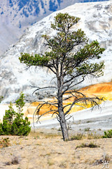 2E9A2061 (lee scott ) Tags: usa tree nature outdoors yellowstonenationalpark yellowstone wyoming nationalparks leescott usnationalpark rightsmanaged mammothhotspringsyellowstonenationalpark rightmanaged photographybyleescott lightsourcephotographybyleescott mammothhothsprings