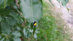 Yellow Spider on a Leaf (FilmandFocusPhoto) Tags: black green nature thread yellow outdoors spider leaf natural outdoor web silk samsung spots galaxy untouched s5 noprocessing photoshopfree