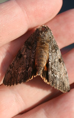 Underwing Moth (Serene underwing?), in Staten Island, New York, USA. August, 2015 (Tom Turner - NYC) Tags: nyc usa newyork nature insect unitedstates wildlife moth statenisland winged bigapple underwing tomturner catocala