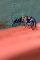 Jumping spider, Costa Rica (to be identified) (aeyuio) Tags: wild macro nature bug spider nikon costarica wildlife nikkor jumpingspider insecte araigne salticidae saltique nikon105vr araignesauteuse araignesaltique nikond750