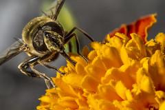 Macro (ex-otico) Tags: flower macro insect 11 bee