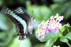 Green Banded Swallowtail butterfly's Flapping over the flora (Johnnie Shene Photography(Thanks, 1Million+ Views)) Tags: wild people flower colour macro nature floral horizontal closeup canon butterfly bug insect lens photography eos rebel living fly dc still wings flora focus scenery kiss natural image feeding outdoor no wildlife watching scenic sigma tranquility scene full butter flies modified resting limbs magnified flapping length 1770 flap tranquil adjustment freshness stationary foreground papilio t3i x5 organism behaviour perching fragility 284    600d 1770mm f284 behavioural  phorcas