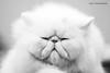IMG_7341a_c (JANY FEDERICO GIOVANNINETTI) Tags: hairy cats cat hair eyes funny soft sweet expressions occhi international felini gatto gatti divertenti pelosi pelo dolci pedigree internazionale sguardi espressioni razza soffice soffici