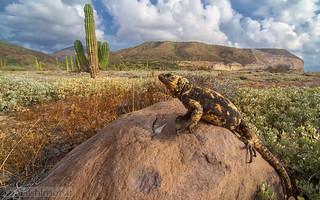 San Esteban chuckwalla- Sauromalus varius